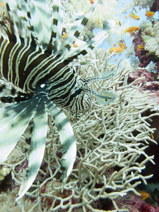 Lionfish Pterois volitans w Czerwonym morzu z wybrzeża Yanbu, w Arabia Saudyjska obrazy stock