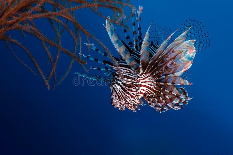 Lionfish Pteroisjagd im Riff lizenzfreie stockbilder