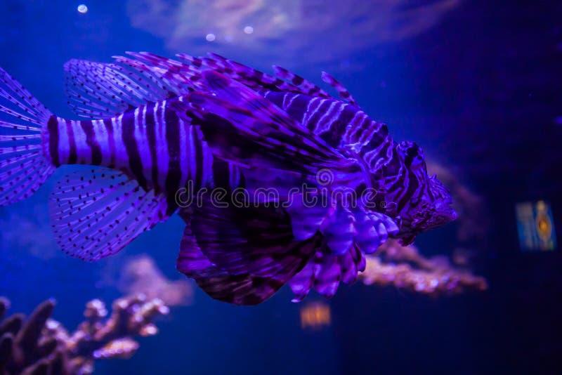 Lionfish - Pteroisvolitans Wunderbare und schöne Unterwasserwelt mit Korallen und tropischen Fischen lizenzfreies stockfoto