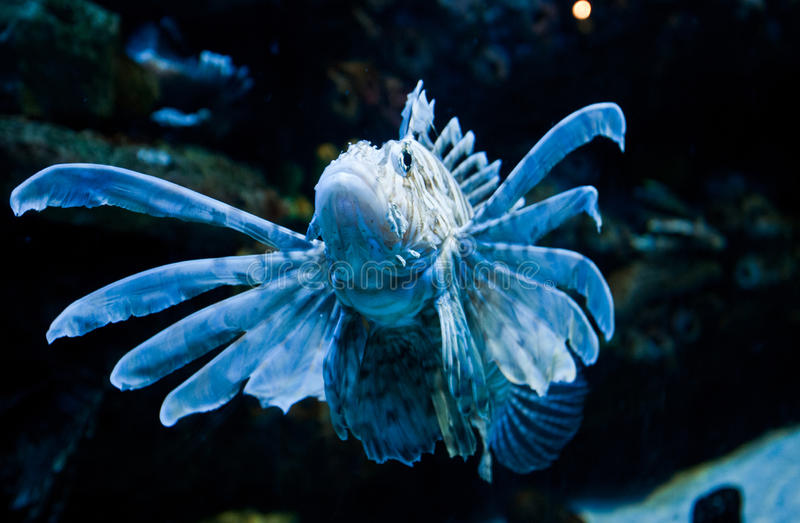 Download Lionfish stock photo. Image of aquarium, venomous, tank - 37213576