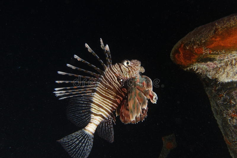 A lionfish in the Red Sea, Egypt. A lionfish showing his spines in the Red Sea, Egypt royalty free stock photo