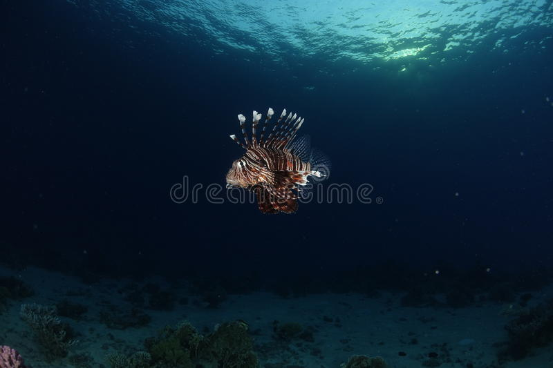 A lionfish in the Red Sea, Egypt. A lionfish showing his spines in the Red Sea, Egypt stock photography