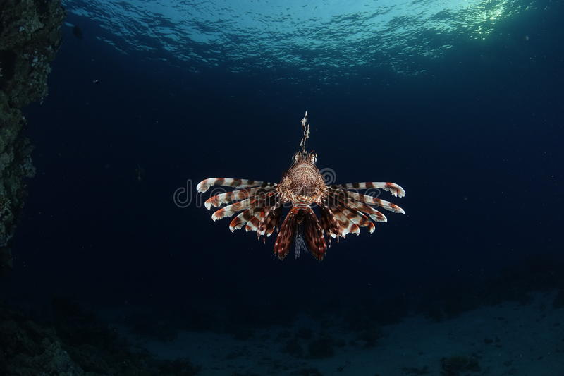 A lionfish in the Red Sea, Egypt. A lionfish showing his spines in the Red Sea, Egypt royalty free stock photography