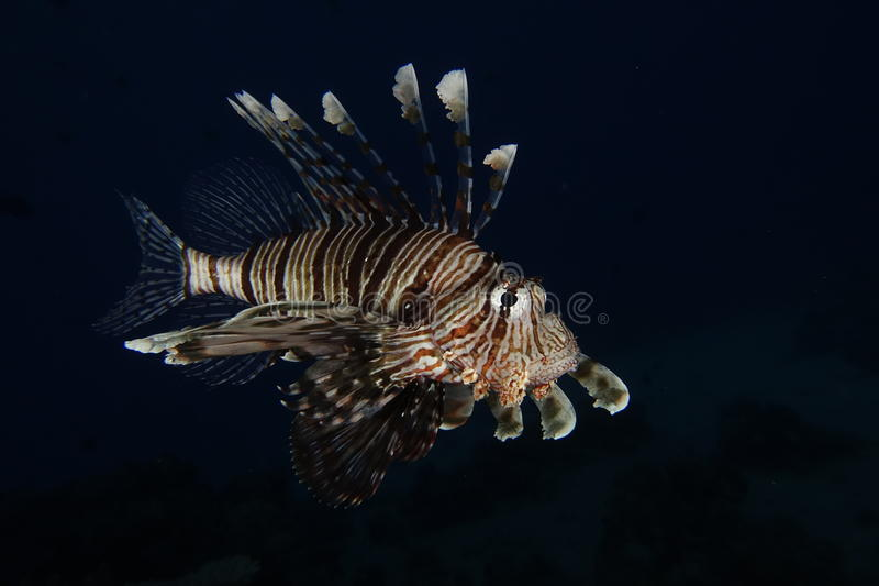 A lionfish in the Red Sea, Egypt. A lionfish showing his spines in the Red Sea, Egypt royalty free stock image