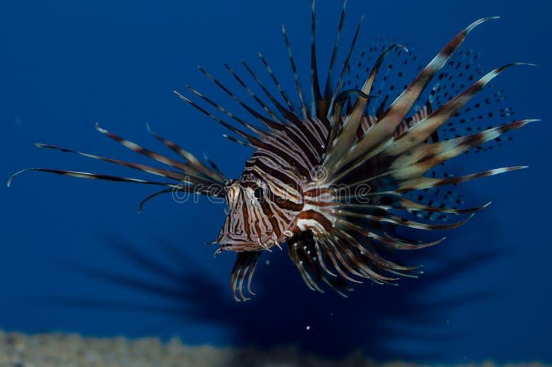 Lionfish rojo de Volitan imagen de archivo