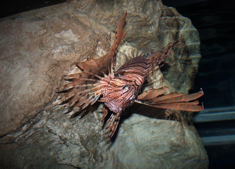 Lionfish rojo en Carolina Aquarium del norte fotografía de archivo libre de regalías
