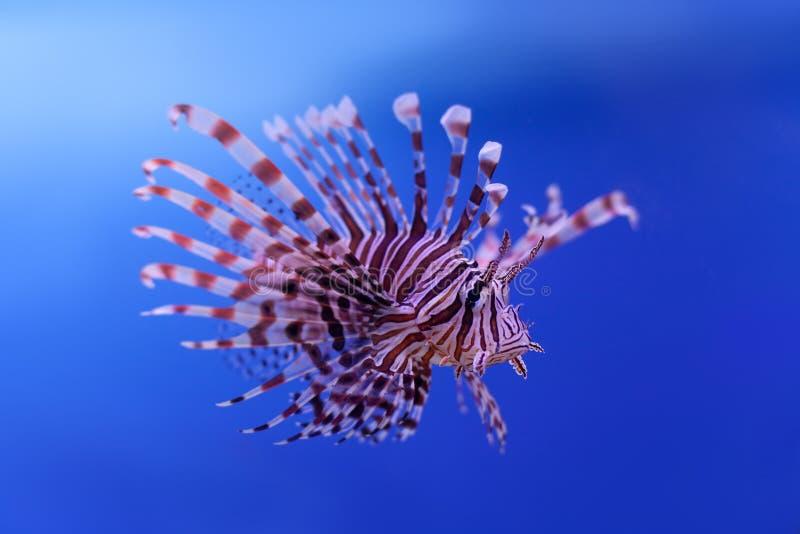 Lionfish rojo que nada Millas del Pterois pescados peligrosos, extraordinarios, venenosos del océano Fondo para una tarjeta de la imagen de archivo