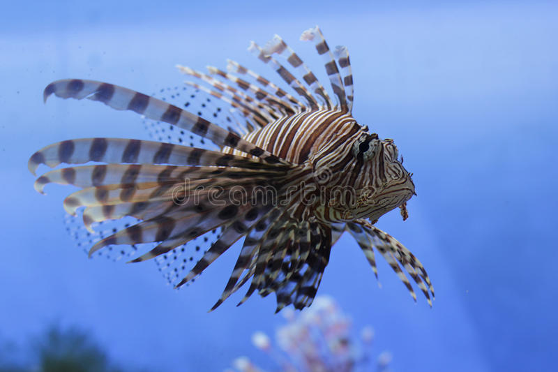 Lionfish rosso fotografie stock libere da diritti