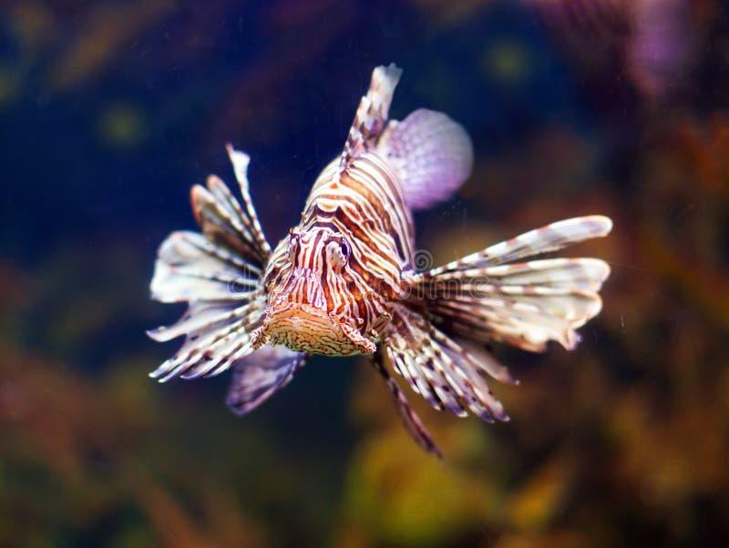 Lionfish rosso in acqua di mare fotografia stock libera da diritti
