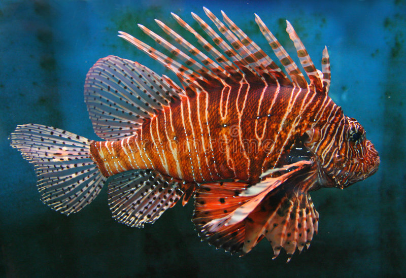 LionFish rosso gigante fotografie stock libere da diritti