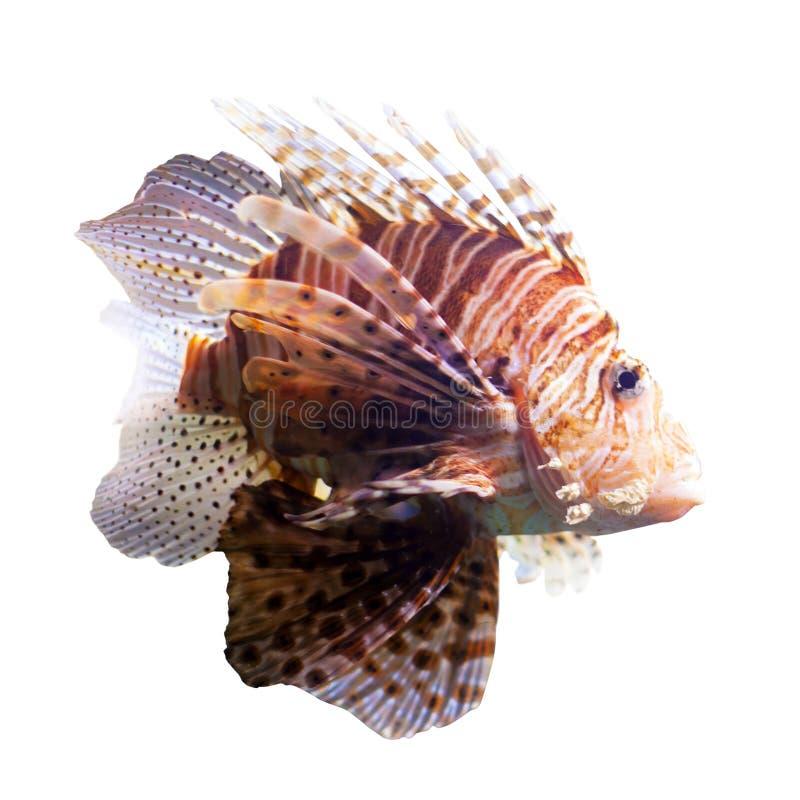Lionfish rosso Isolato fotografia stock libera da diritti
