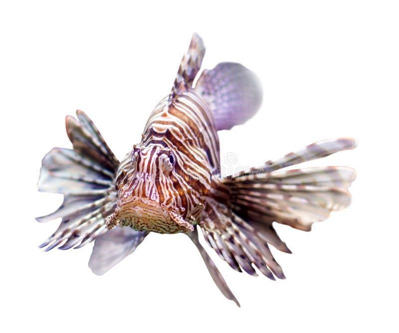 Lionfish rosso sopra bianco fotografie stock libere da diritti