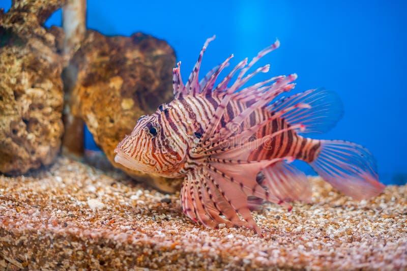 Lionfish rouge de natation Milles de Pterois poissons dangereux, extraordinaires, toxiques d'océan Fond pour une carte d'invitati image libre de droits