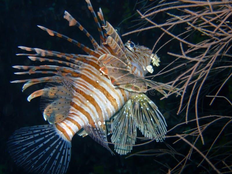 Lionfish rouge, Maldives images libres de droits