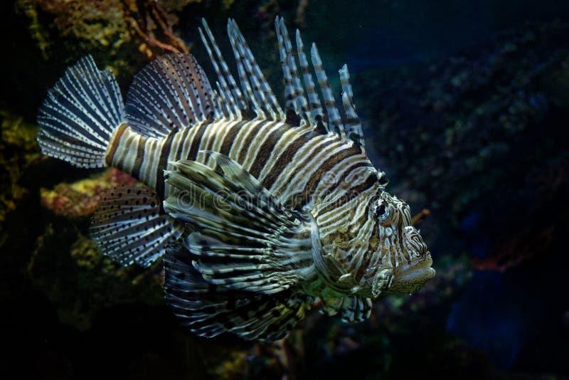 Lionfish rouge - poisson venimeux de récif coralien de volitans de Pterois, Scorpaenidae, ordre Scorpaeniformes Région Indo-Pacif images libres de droits