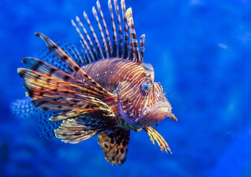 Lionfish rouge - un des poissons dangereux de récif coralien images libres de droits