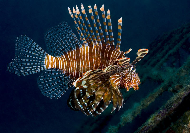 Lionfish from the side stock photo