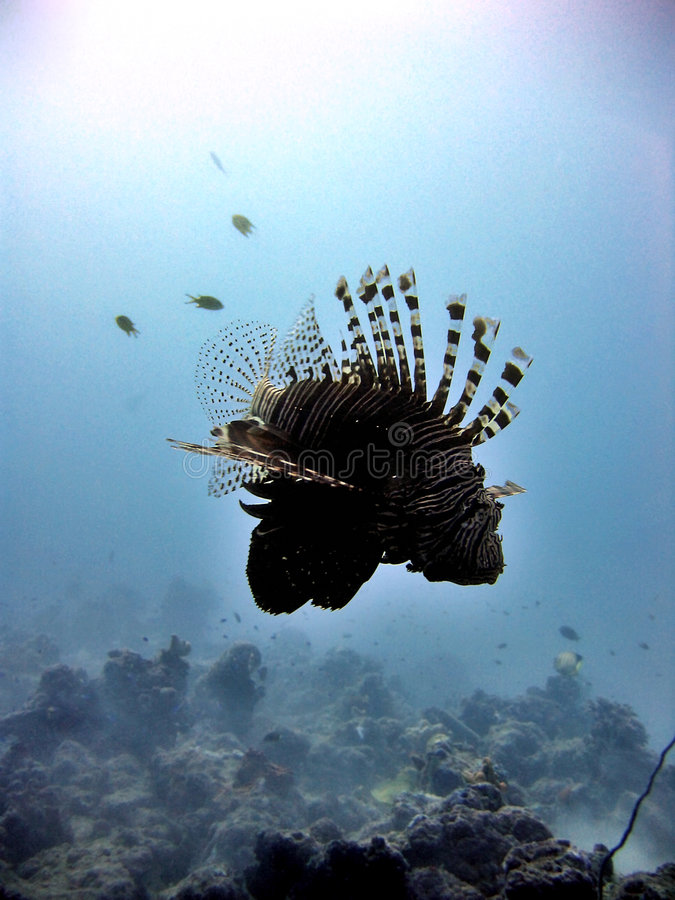 Download Lionfish Silhouette stock image. Image of evening, ocean - 398885