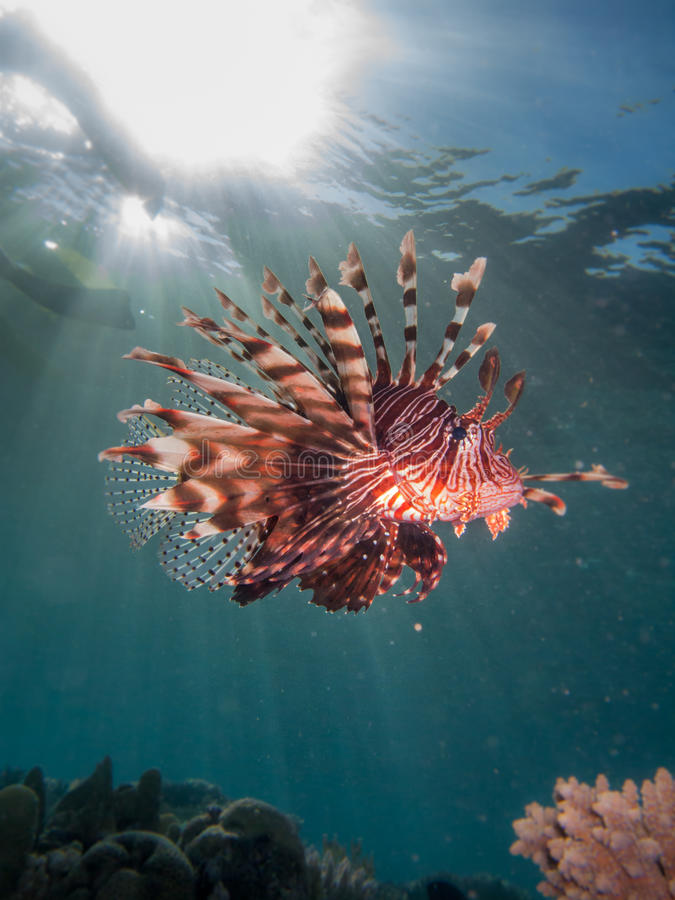 Lionfish with sun flare. Lionfish swimming in open water with sun flare royalty free stock photo