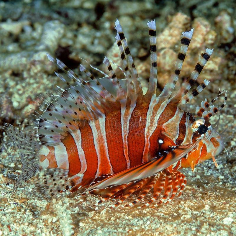 Lionfish sur le fond océanique photographie stock libre de droits