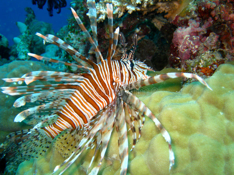Lionfish swimming over coral; Great Barrier Reef,. Striped red and white lionfish swimming over densely packed coral on a pristine underwater reef; Great Barrier royalty free stock photography