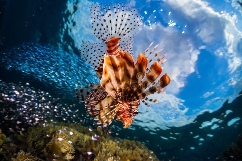 Lionfish swims around the reef. Lionfish surrounded by the prey fish swims on the reef in the tropical sea stock photo