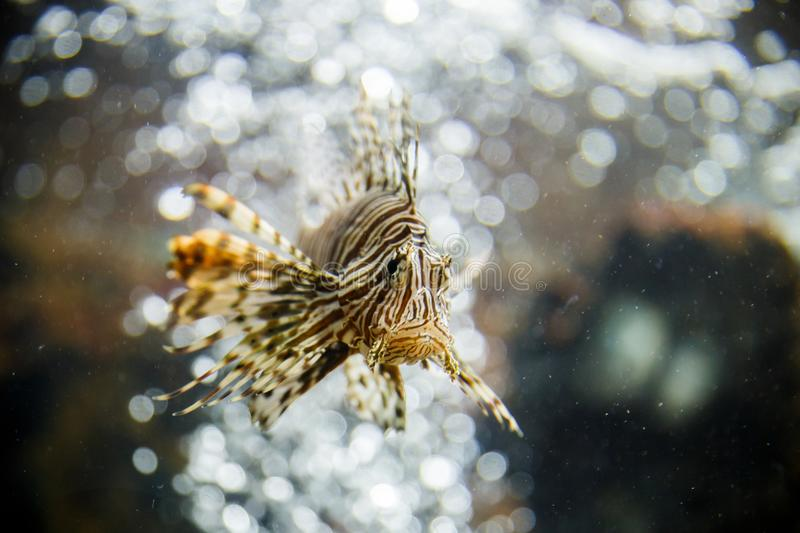 Lionfish in tank at aquarium in bubble background royalty free stock photo