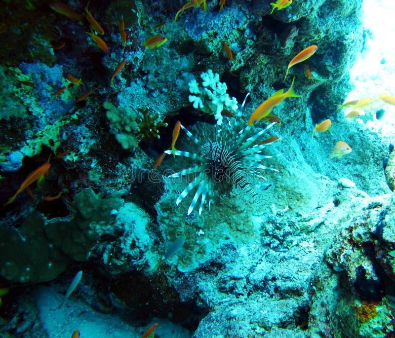 Lionfish tossico del pesce, pesce zebra Peschi nel Mar Rosso fotografia stock
