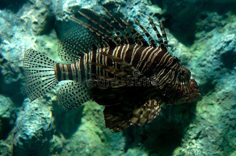 Download Lionfish Tropicale Del Pesce Immagine Stock - Immagine di deep, esotico: 30825685