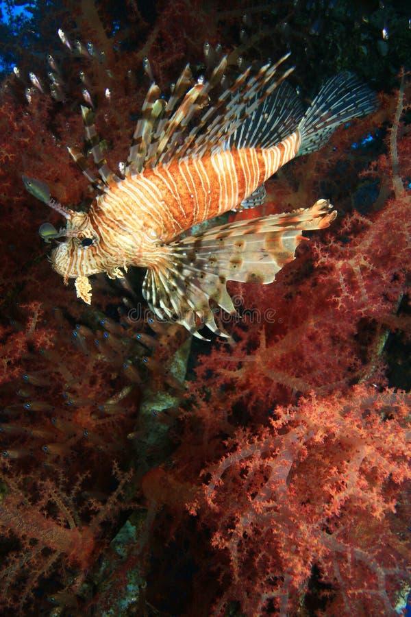 Lionfish und weiche Koralle stockfotos