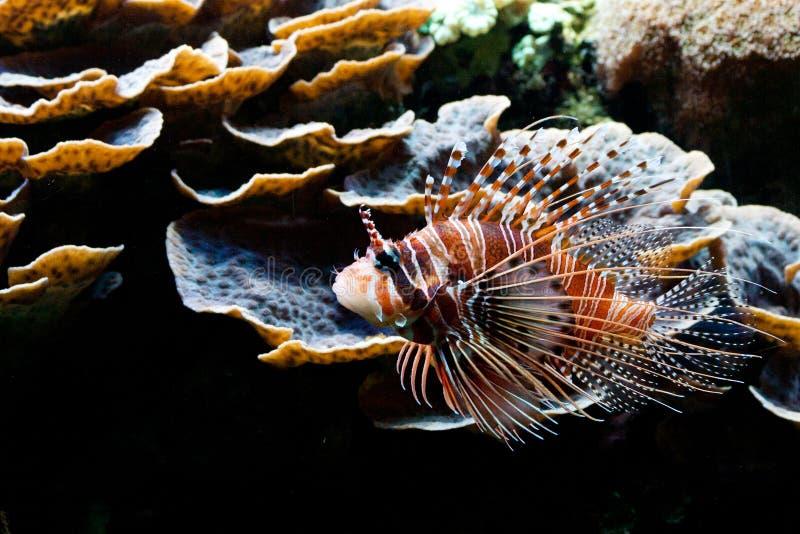 Lionfish vermelho (volitans do Pterois) imagens de stock royalty free