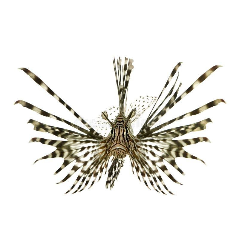 Lionfish vermelho - volitans do Pterois fotos de stock