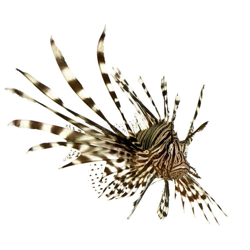 Lionfish vermelho - volitans do Pterois imagens de stock