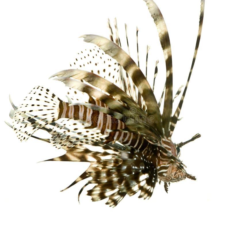Lionfish vermelho - volitans do Pterois fotos de stock royalty free