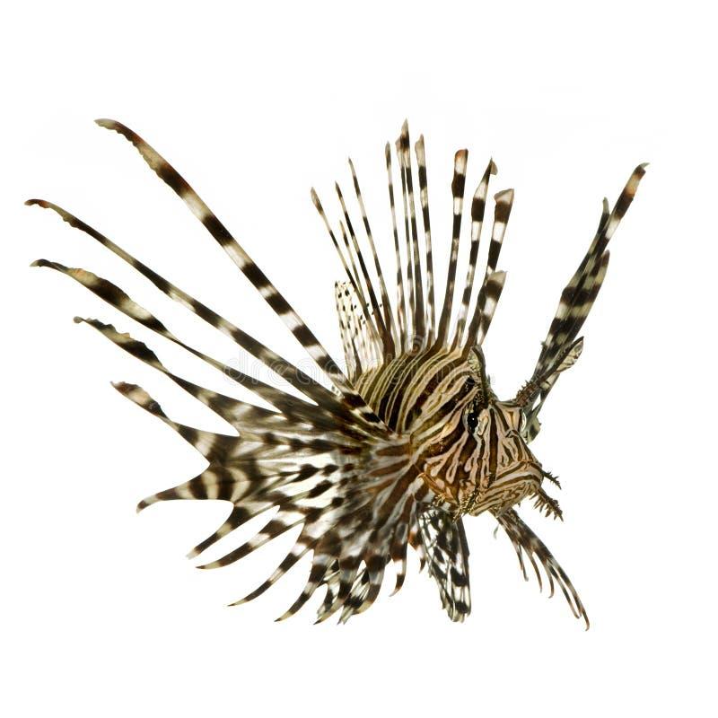 Lionfish vermelho - volitans do Pterois imagens de stock royalty free