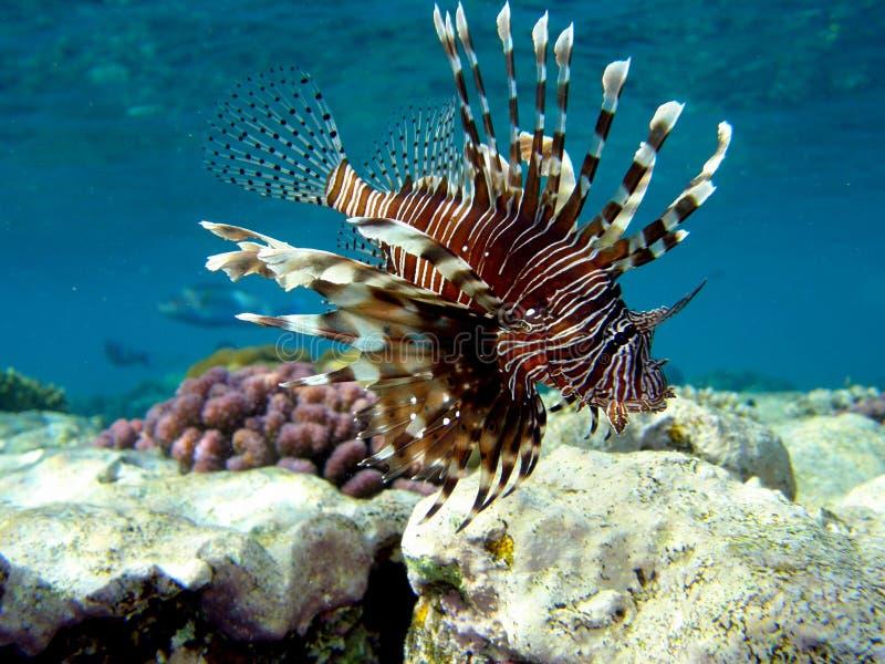 Lionfish Volitans royalty-vrije stock fotografie