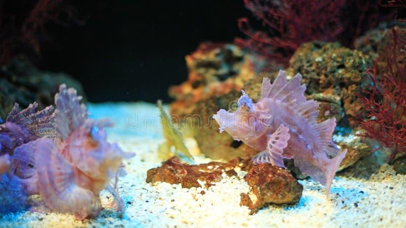 Lionfish (volitans de Pterois) nageant près du récif coralien photos libres de droits