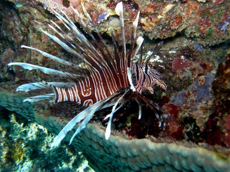 Lionfish Volitans in rust royalty-vrije stock afbeeldingen