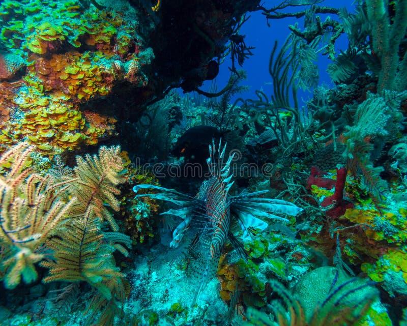 Lionfish y x28; Pterois& x29; cerca de coral, s Cayo largo, Cuba foto de archivo