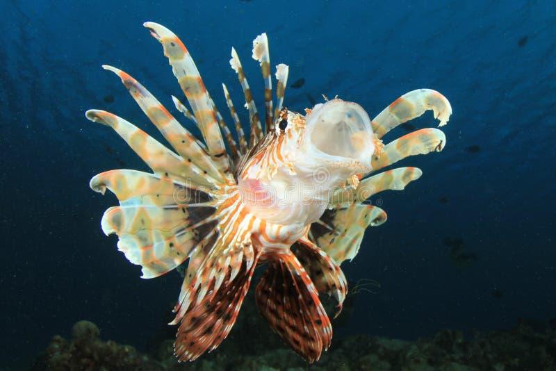 Download Lionfish yawning stock image. Image of yawn, ocean, reef - 23011751