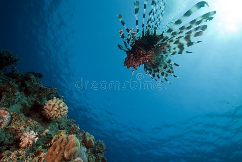 lionfishhav fotografering för bildbyråer