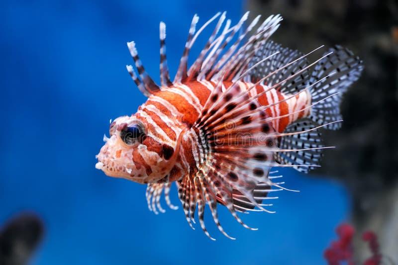 lionfishmombasaepterois arkivfoto