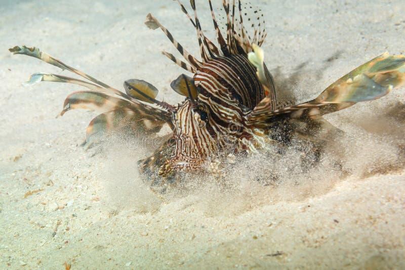Lionfishnattjakt royaltyfri fotografi