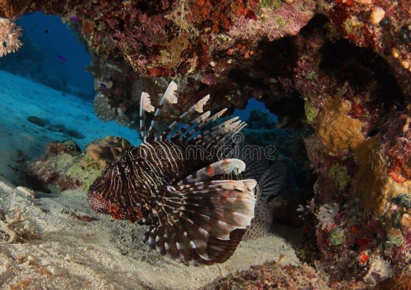 Lionfishnederlag under reven - rött hav arkivbilder