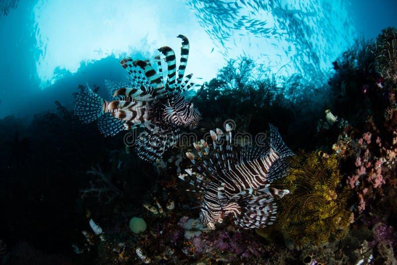 Lionfishpaar royalty-vrije stock afbeeldingen