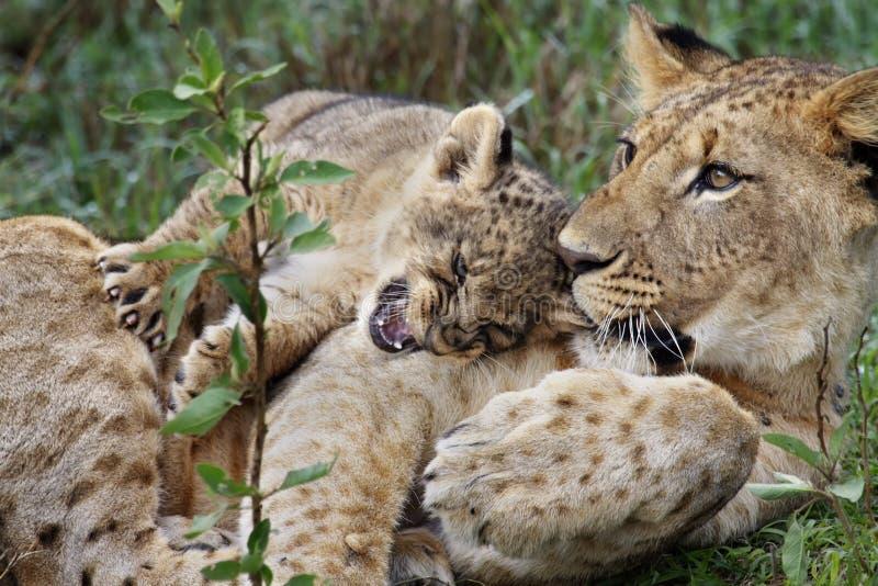 Liongröngöling som leker med brodern, Lake Nakuru arkivbild