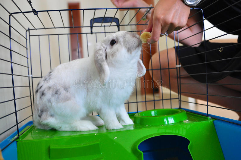 Lionhead kanin som äter i bur arkivfoton