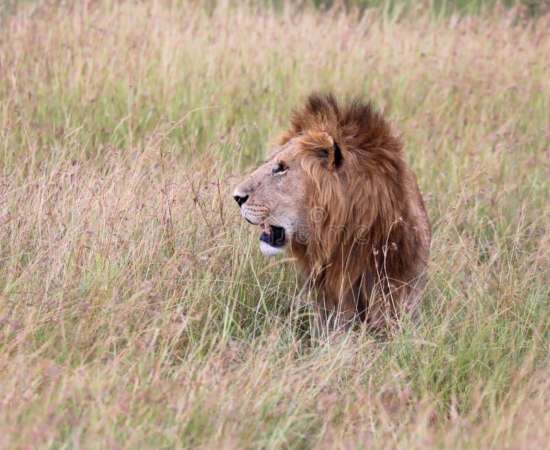 Lionin Kenia que acecha a través de la hierba foto de archivo libre de regalías