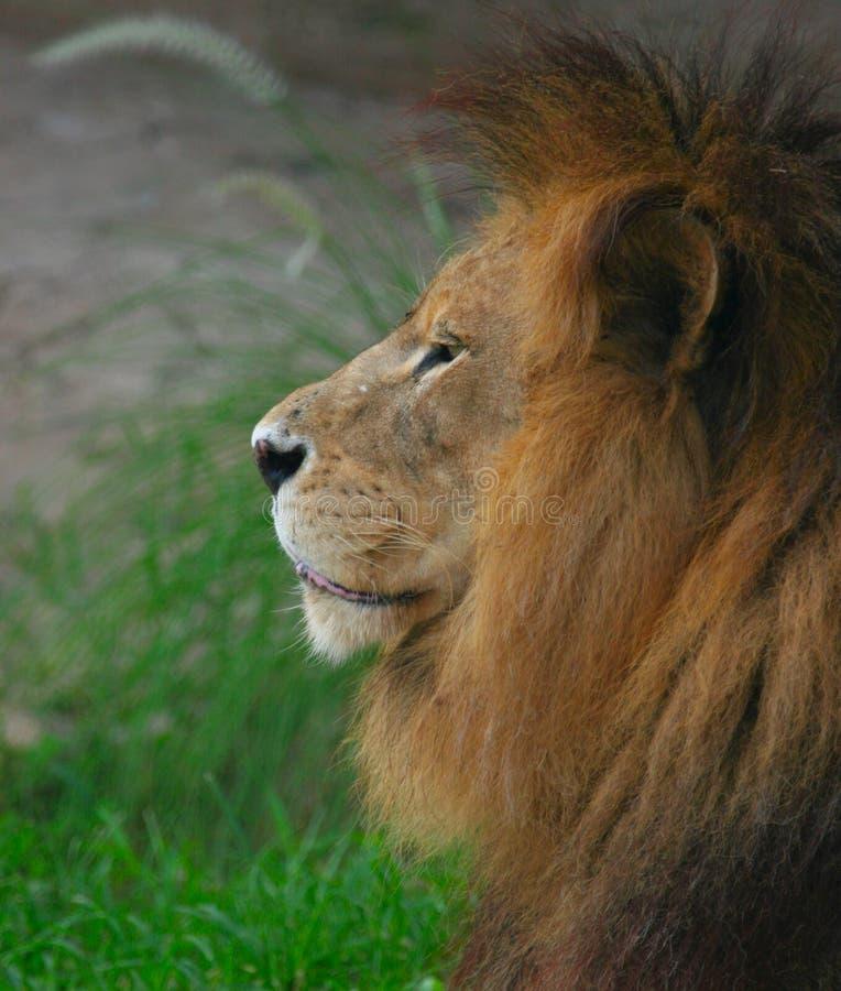Download Lionmanlig arkivfoto. Bild av lion, vråla, profil, feline - 277982