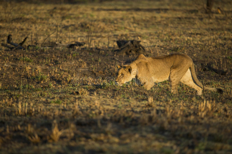 Lionn hunting South Africa stock images